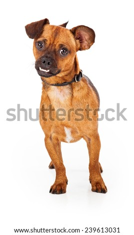 An alert chihuahua dog stands facing the camera.  The dog is cute with an underrbite and a curious disposition - stock photo