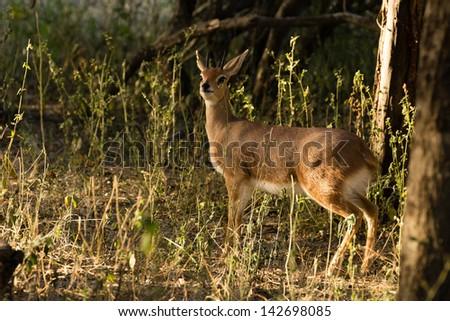 An alert male Steenbuck in forest - stock photo