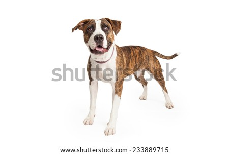 An alert Staffordshire Bull Terrier Mix Breed Dog standing at an angle while looking up.  - stock photo