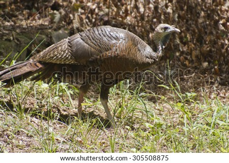 An alert wild female turkey forages for food during summer