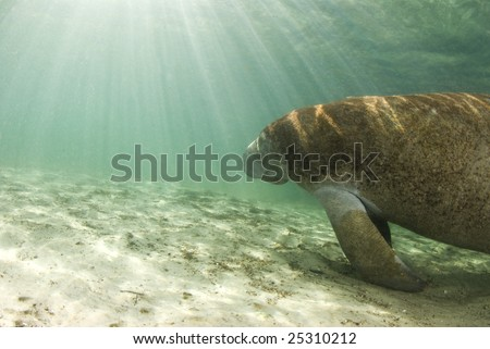 An algae covered Manatee (Trichechus manatus latirostrus) swims towards the shining sun in the springs of Crystal River, Florida - stock photo