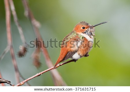 An Allen's hummingbird perched in Southern California. - stock photo