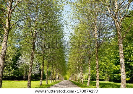 An alley of birch trees with fresh leaves during spring time. - stock photo