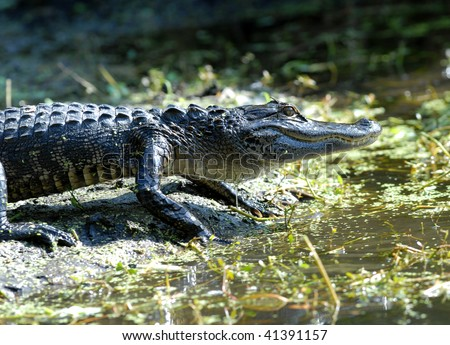 An alligator; (Alligator mississippiensis) at Lake Alice on the campus of the University of Florida in Gainesville, Florida on November 21, 2008. - stock photo
