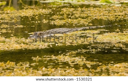 An alligator moves silently through the water looking for prey - stock photo