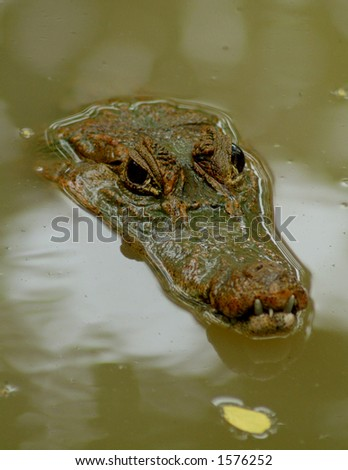 An Alligator or Crocodile hiding in the muddy water - stock photo