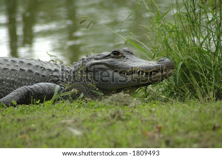 An alligator resting at the water's edge.