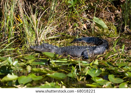 An alligator resting in the swamp of the Everglades National Park in Florida - stock photo
