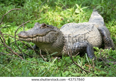 An alligator standing in a swamp, looking to side - stock photo