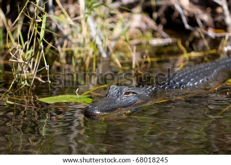 An Alligator swimming in the Everglades swamp in Florida - stock photo