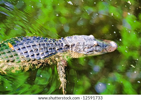 An alligator swims in pond, trees reflected in water - Hilton Head Island, South Carolina - stock photo