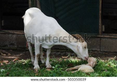 An Alpine mother goat licks his newly born kid