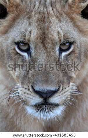 An amazing close up portrait of a young baby lion cub. Taken on safari in South Africa
