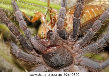An amazing encounter! A Tarantula catches and eats a Cicada in the Peruvian Amazon! - stock photo