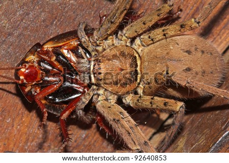 An amazing encounter! A Tarantula catches and eats a Cockroach in the Peruvian Amazon! - stock photo