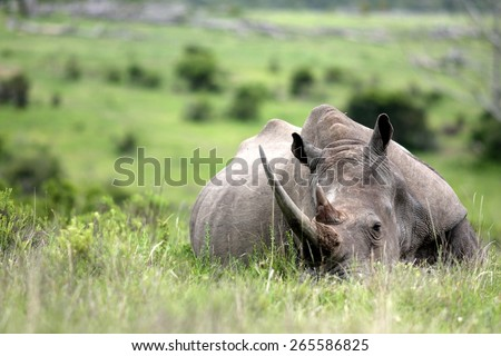 An amazing low angle image of a huge rhinoceros / rhino with a massive horn sleeping in an open field in South Africa. - stock photo