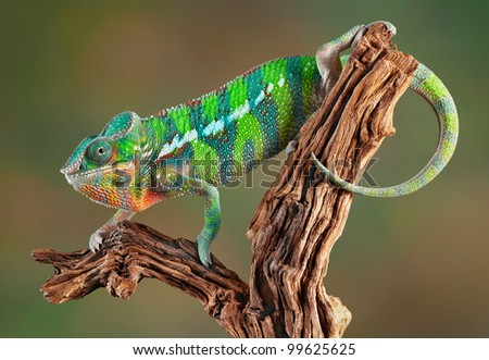 An ambilobe panther chameleon is crawling on some petrified wood. - stock photo
