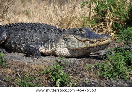 an american alligator in southern florida