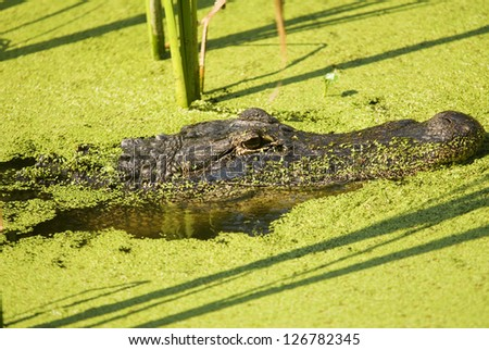 An American Alligator Lurking in an Algae Filled Lake - stock photo