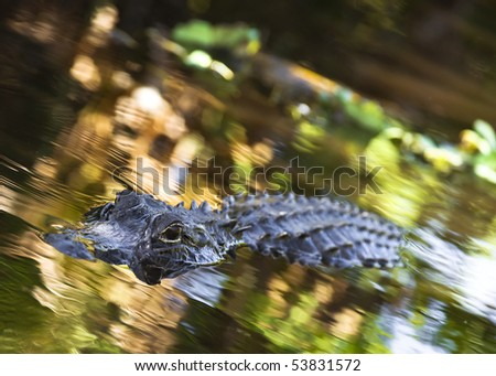 An American Alligator swims around in the Florida Everglades National Park - stock photo