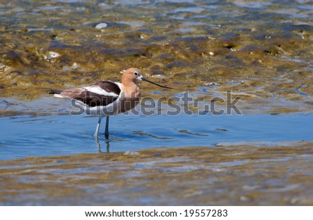 An American Avocet wading in marshland near the bay.
