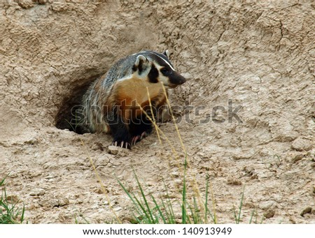 An American Badger at the Entrance of its Burrow - stock photo
