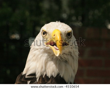 An American Bald Eagle facing front