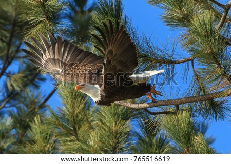 An American bald eagle flies off from a tree ins earch of food near Coeur d'Alene, Idaho.