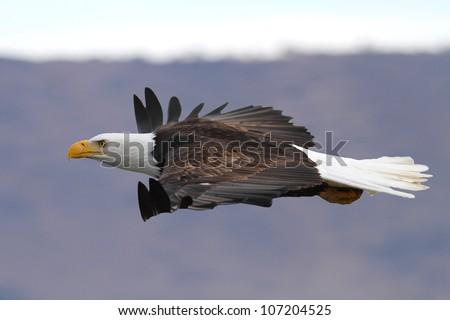 An American Bald eagle gliding at eye level. Photo taken at Klamath Basin in California. - stock photo