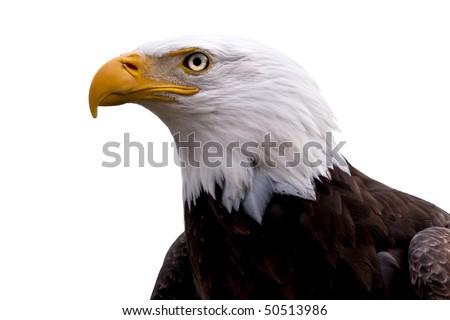 An American Bald Eagle  - Haliaeetus leucocephalus -  isolated on a white background. - stock photo