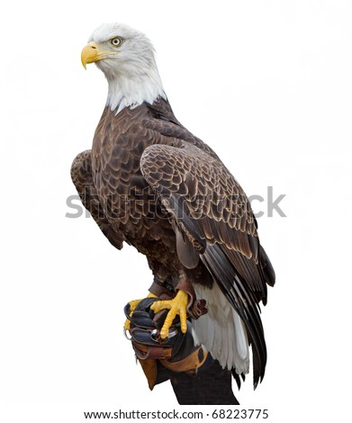 An american bald eagle perched on a handler's glove - stock photo