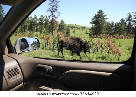An American Bison from a vehicle window in Custer State Park, South Dakota. - stock photo