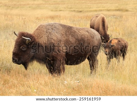 An American Bison or Buffalo and Her Calf in the High Autumn Grass - stock photo