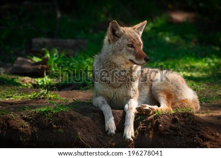 An American Coyote (Canis Latrans) rests lying down on a small, dirt hill in a Canadian forest.