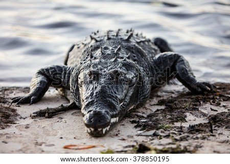 An American crocodile (Crocodylus acutus) crawls out of shallow water in the Caribbean Sea. This dangerous predator is found throughout Central America and Florida. - stock photo
