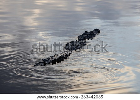An American crocodile (Crocodylus acutus) swims in the lagoon of Turneffe Atoll off the coast of Belize. This dangerous reptile is widespread and males can grow up to 20 feet in length. - stock photo