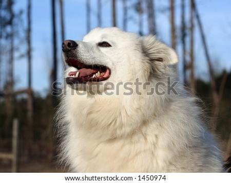 An American Eskimo Dog - Eskie - stock photo