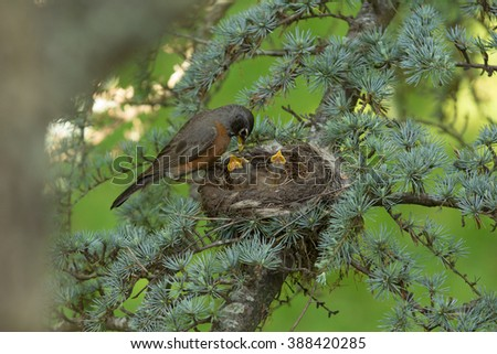 An American Female Robin Feeds Her Baby Chicks - stock photo