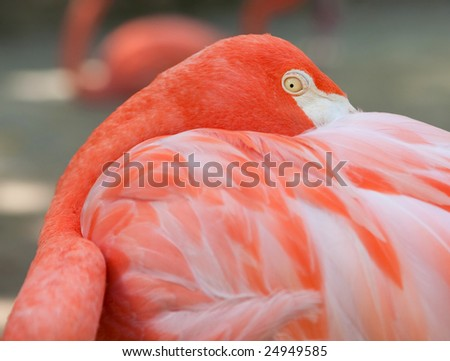 An American Flamingo(Phoenicopterus ruber) roosting and staring at the camera