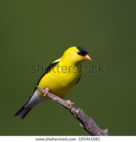 An American Goldfinch perched on a branch with a green backgound.