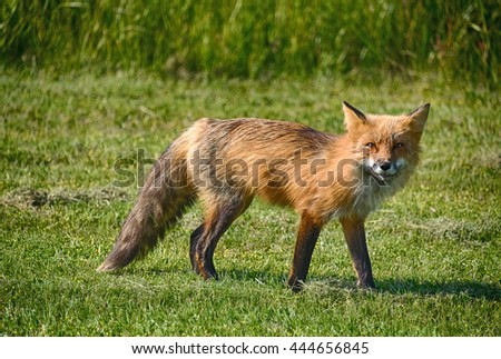 An American red fox (vulpes vulpes) was surprised while hunting in a field as seen in the wild on San Juan Island in Washington State. - stock photo