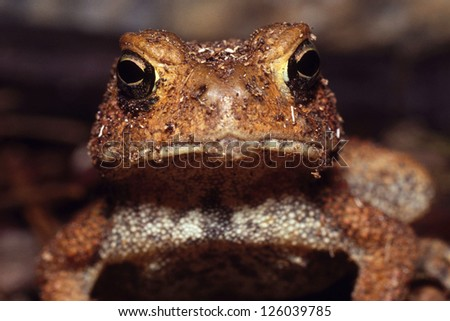 An American Toad (Bufo Americanus) looking directly into the lens - stock photo
