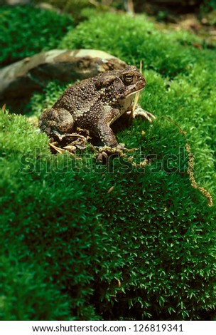An American Toad (Bufo americanus) on a moss covered hill - stock photo