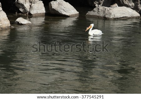 An American White Pelican (Pelecanus erythrorhynchos) swimming in a river. - stock photo