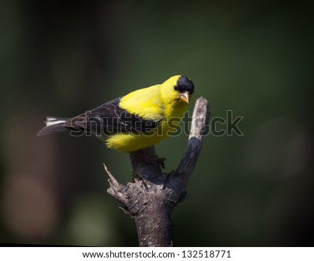 An Americasn Goldfinch perched on a bare tree limb. - stock photo