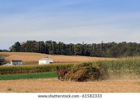 An Amish Farmer Hauls Corn to the Silo for Cutting - stock photo
