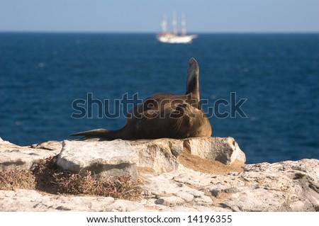 An anchored cruise ship and a Galapagos Sea Lion (Zalophus californianus wollebaeki).  South Plaza Island, Santa Cruz Island, Galapagos, Ecuador. - stock photo