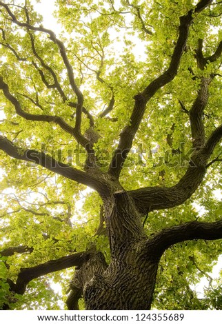 An ancient oaks leafy treetop. - stock photo