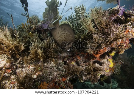 An Angel fish swimming over an Atlantic coral reef with a blue water background. In the John Pennekamp State Park in Key Largo, Florida. - stock photo