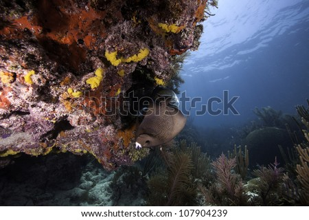 An Angelfish swimming over an Atlantic coral reef with a blue water background. In the John Pennekamp State Park in Key Largo, Florida. - stock photo